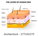 melanocyte and melanin. layers... | Shutterstock . vector #177142175