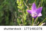 gently purple wildflower  for...