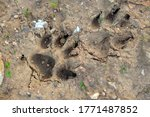 Footprints Of A Large Dog In...