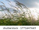 High Dense Green Grass Wind At...