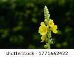 Close Up Of A Blooming Mullein...
