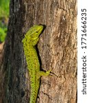 Large Green Bright Lizard On A...