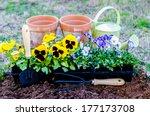 Spring Fever.  Pots Of Violas...