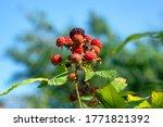 Bunch Of Ripening Blackberries...
