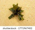 Seaweed. Green Seaweed Laying...