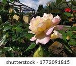 Pink Rose Russian Trojka Flowe...