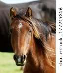 A Head Shot Of A Bay Horse Wit...