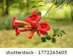 Red Blossom Of Trumpet Vine ...