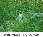 Cat cat hidden among grass for...