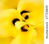 bouquet of three yellow caliliy | Shutterstock . vector #17723845