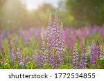 Lupinus  Lupin  Lupine Field...