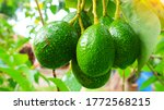 Avocado Strains Booth 8 In...
