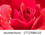 Macro Photo Of A Red Rose In...