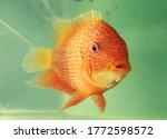 Oscar Fish Waiting To Get Food