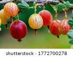 Ripe Gooseberries Berries On A...