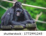 Two Cuddling Monkeys  Spider...