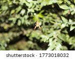 Spider In A Web On A Myrtle Bush