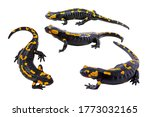 Small photo of Four pictures of Fire salamander with different angles. a species of True salamanders, Amphibian reptile, wildlife animals