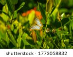 White Peacock Butterfly ...