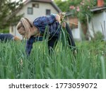 young woman farmer  picking and ...