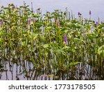Blue Pickerel  An Aquatic Pond...