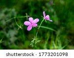 """cranesbill"" Flowers In..."