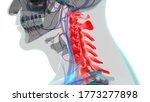 Human Skeleton Vertebral Colum...