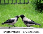 Two Hooded Crows Are Fighting...