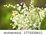 Lily Of The Valley Flowers....