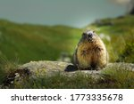 Close-Up Alpine Marmot (marmota marmota) on Grossglockner looking into Camera lens on a Sunny day
