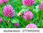 Bumblebee Pollen On Pink Clove...