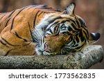 Sumatran Tiger Take A Sleep