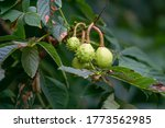 Horse Chestnut Tree With...