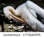 Reat white pelican pelecanus...