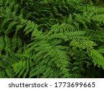 Bracken Under The Forest Canopy