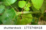 Katydid  katydid in the nature...