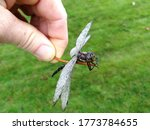 Hand Holding A Pine Needle Wit...