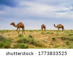Small photo of Camels in the pasture. Storm clouds in the sky. Camels graze in the semi-desert. Summer steppe landscape. A herd of camels. Semi-desert landscape. Camel grass. Camel food