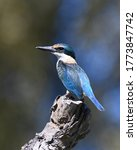 Sacred Kingfisher On A Perch