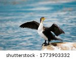 A Large Cormorant Spread Its...