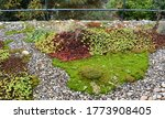 Green Roof With Stonecrops And...