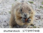 Prairie Dog Eating A Peanut