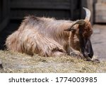 Tahrs are a species of large Asian artiodactyl ungulates related to the wild goat.