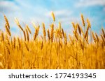 Spikelets Of Ripened Wheat In...