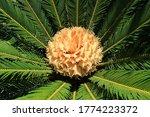 Cycas Revoluta Female Palm Tree ...