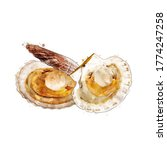 Scallop  Watercolor Isolated...