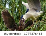 The black crowned night heron ...