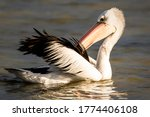 Small photo of Plucky Pelican in South Australia