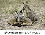 two young bat eared foxes ... | Shutterstock . vector #177449318