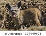 young bat eared foxes  otocyon... | Shutterstock . vector #177449975